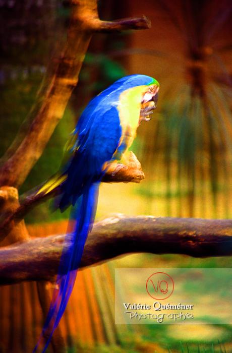 Ara bleu - Réf : VQA29-0008 (Q3)