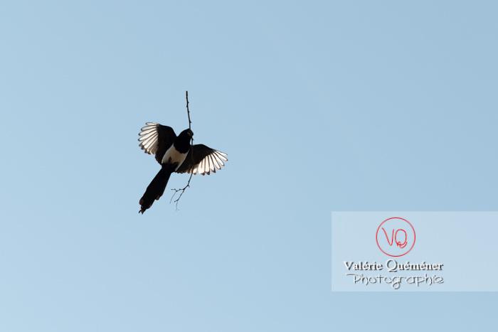 Pie en vol portant une branche - Réf : VQA29-0027 (Q3 rec)