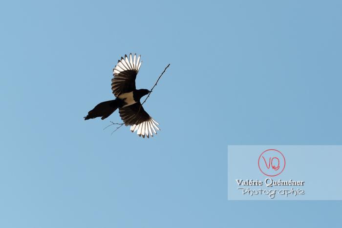 Pie en vol portant une branche - Réf : VQA29-0030 (Q3 rec)