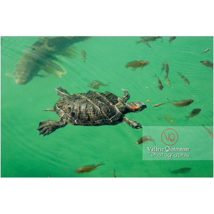 Tortue à oreille rouge ou tortue de Floride nageant dans l'eau - Réf : VQA31-0001 (Q1)
