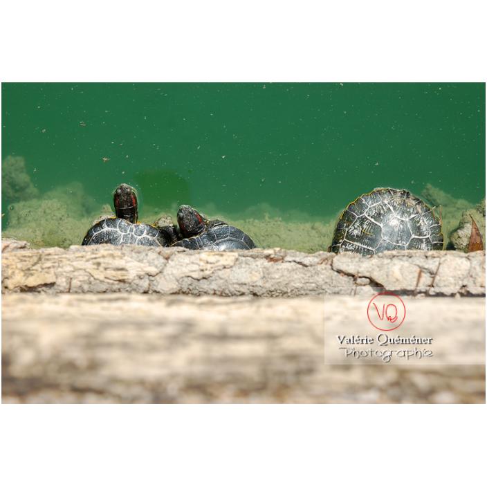 Tortue à oreille rouge ou tortue de Floride vue de dessus - Réf : VQA31-0002 (Q1)
