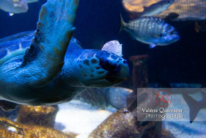 Tortue / Aquarium de Monaco - Réf : VQA31-0010 (Q3)