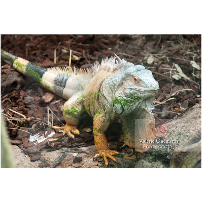 Iguane vert - Réf : VQA34-0017 (Q2)