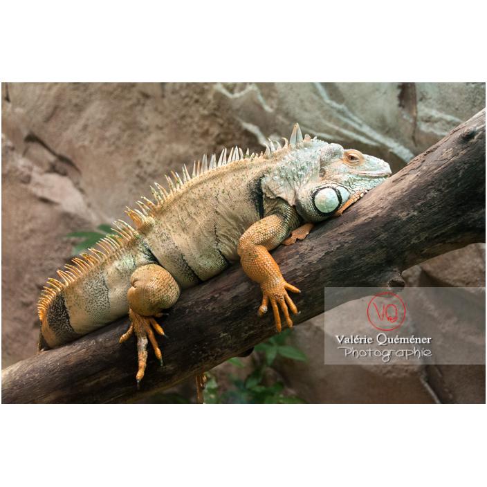 Iguane vert - Réf : VQA34-0019 (Q2)