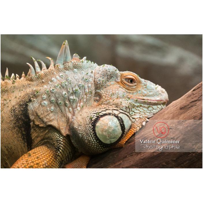 Portrait d'un iguane vert - Réf : VQA34-0020 (Q2)