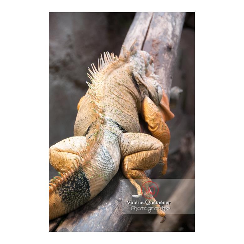Détail peau et patte d'un iguane vert - Réf : VQA34-0021 (Q2)