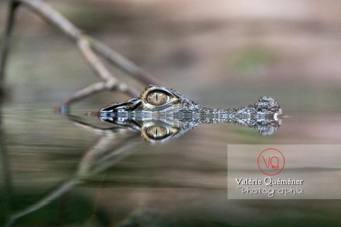 Caïman à lunette / Serre tropicale de Montpellier / Occitanie - Réf : VQA35-0006 (Q2)