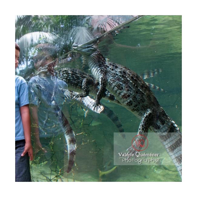 VQA35-0013-caiman-a-lunettes-et-enfant-serre-tropicale.png