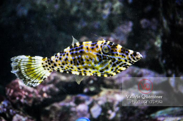 Poisson-lime gribouillé / Aquarium de Paris - Réf : VQA5-0010 (Q3)