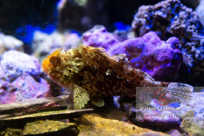 Rascasse brune / Aquarium Monaco - Réf : VQA5-0132 (Q3)