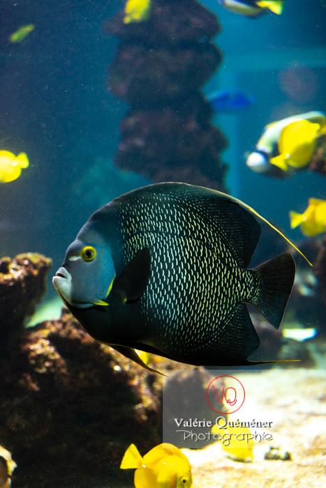 Poisson-ange français / Aquarium Monaco - Réf : VQA5-0137 (Q3)