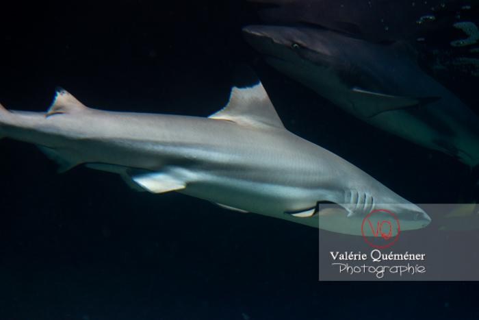 Requins à pointe noir / Aquarium de Monaco - Réf : VQA5-0141 (Q3)
