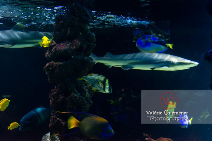 Requin à pointe noir et poissons de corail / Aquarium de Monaco - Réf : VQA5-0143 (Q3)