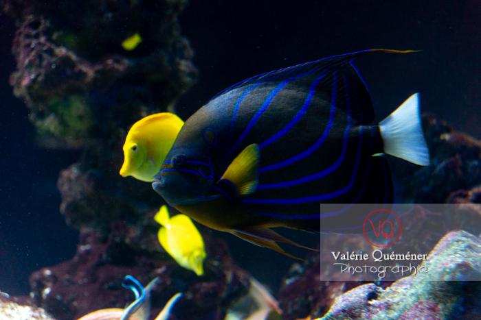 Poisson-ange à anneau / Aquarium de Monaco - Réf : VQA5-0144 (Q3)