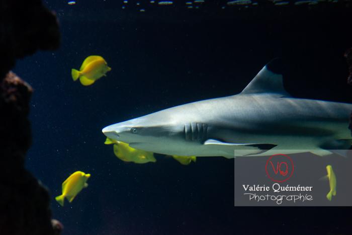 Requin à pointe noir / Aquarium de Monaco - Réf : VQA5-0145 (Q3)