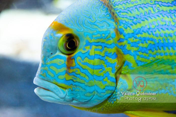 Vivaneau voilier / Aquarium de Monaco - Réf : VQA5-0146 (Q3)