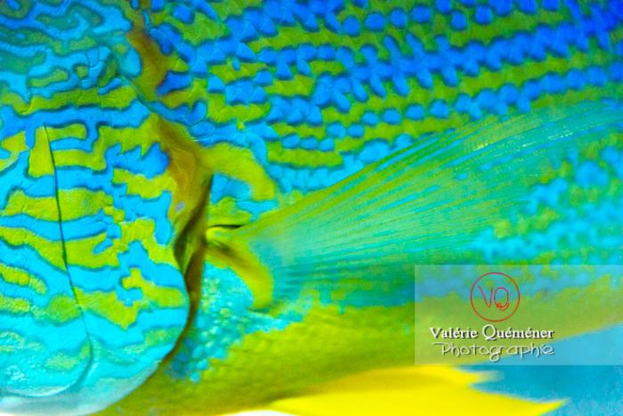 Détail vivaneau voilier / Aquarium Monaco - Réf : VQA5-0147 (Q3)