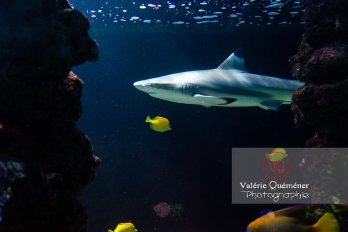 Requin à pointe noir / Aquarium de Monaco - Réf : VQA5-0148 (Q3)