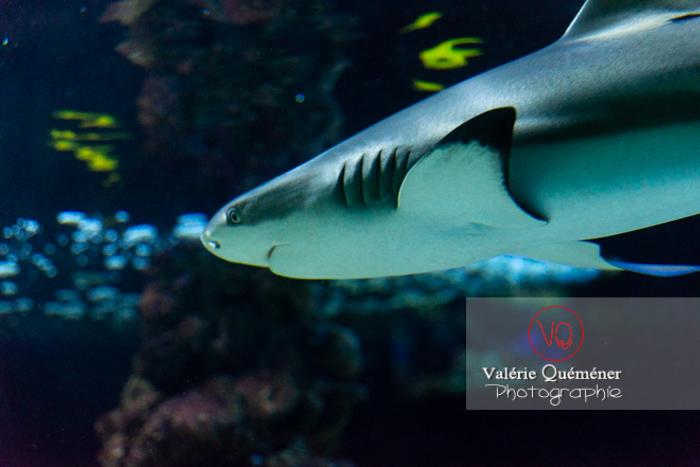 Requin à pointe noire / Aquarium Monaco - Réf : VQA5-0149 (Q3)