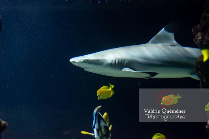 Requin à pointe noire / Aquarium Monaco - Réf : VQA5-0150 (Q3)