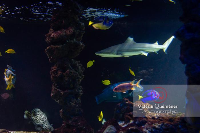 Requin à pointe noir et poissons de corail / Aquarium de Monaco - Réf :-0151 (Q3)