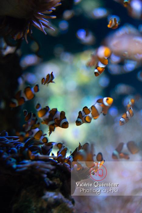 Poissons-clowns à 3 bandes / Aquarium de Monaco - Réf : VQA5-0152 (Q3)