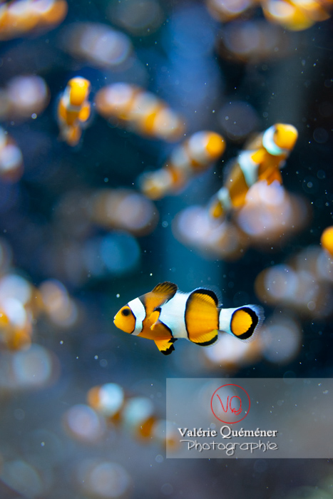Poissons-clowns à 3 bandes / Aquarium de Monaco - Réf : VQA5-0156 (Q3)