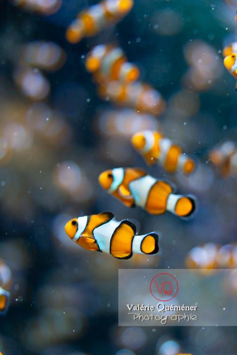 Poissons-clowns à 3 bandes / Aquarium de Monaco - Réf : VQA5-0157 (Q3)