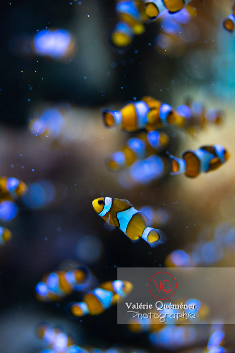 Poissons-clowns à 3 bandes / Aquarium de Monaco - Réf : VQA5-0158 (Q3)