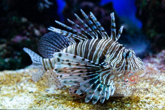 Rascasse volante / Aquarium Monaco - Réf : VQA5-0159 (Q3)