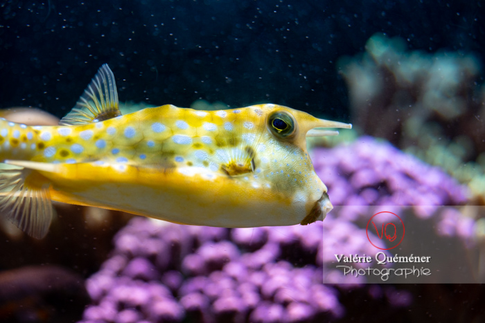 Poisson vache à longues cornes / Aquarium Monaco - Réf : VQA5-0163 (Q3)