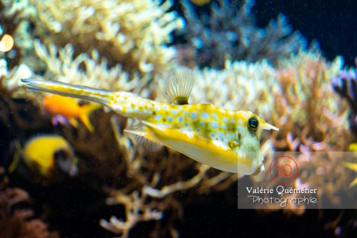 Poisson vache à longues cornes / Aquarium Monaco - Réf : VQA5-0164 (Q3)