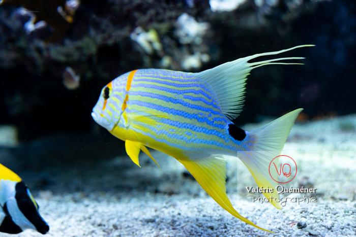 Vivaneau voilier / Aquarium de Monaco - Réf : VQA5-0165 (Q3)