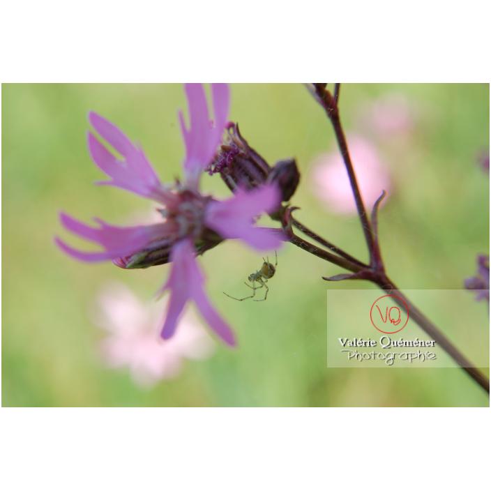 Araignée & fleur de lychnis - Réf : VQA6-0026 (Q1)