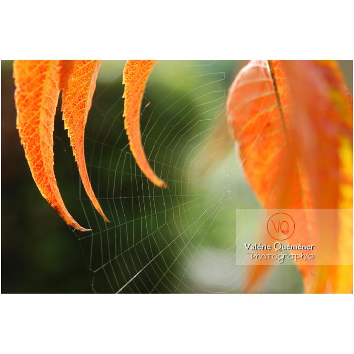 Fine toile d'araignée entre des feuilles de sumac oranges à l'automne - Réf : VQA6-0045 (Q1)
