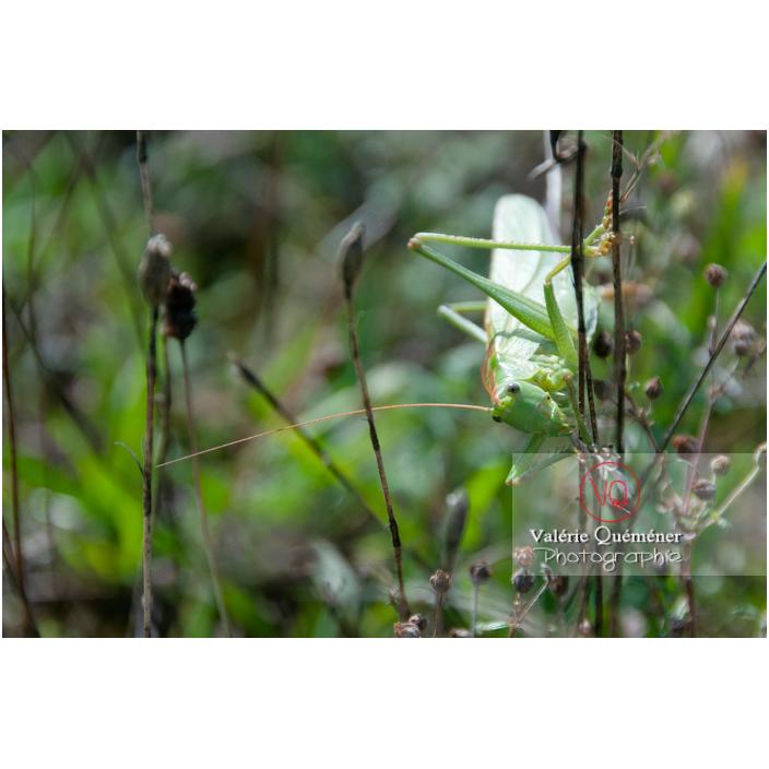 Sauterelle - Réf : VQA6-0141 (Q2)