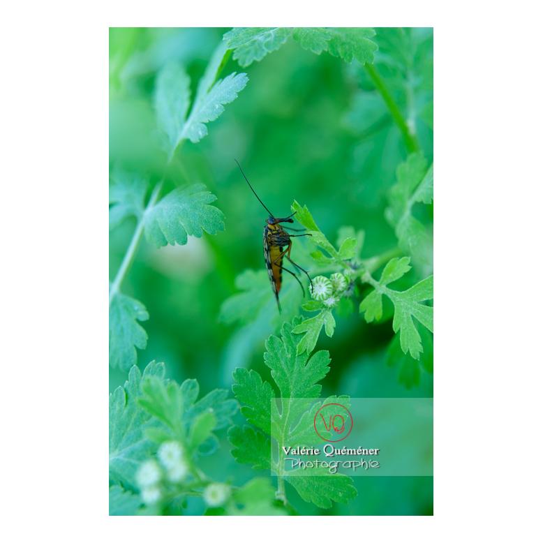 Panorpe ou mouche scorpion (panorpa communis) - Réf : VQA6-0155 (Q2)