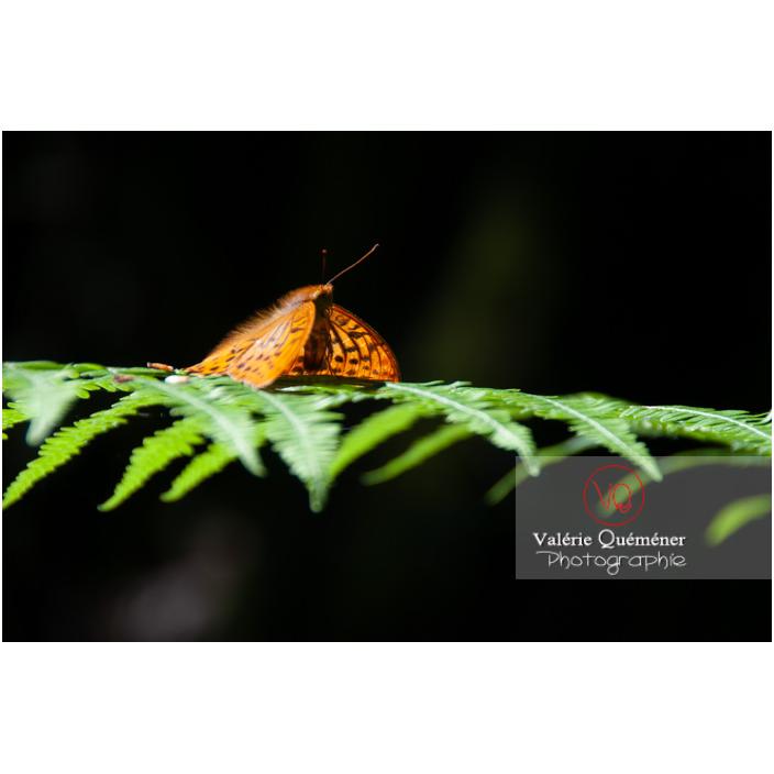 Papillon moyen nacré - Réf : VQA6-0163 (Q2)