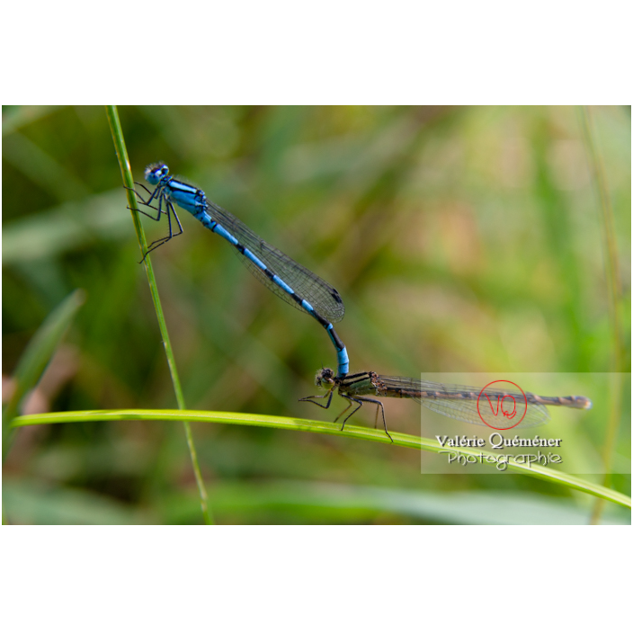Accouplement de libellules agrion agrion - Réf : VQA6-0183 (Q3)