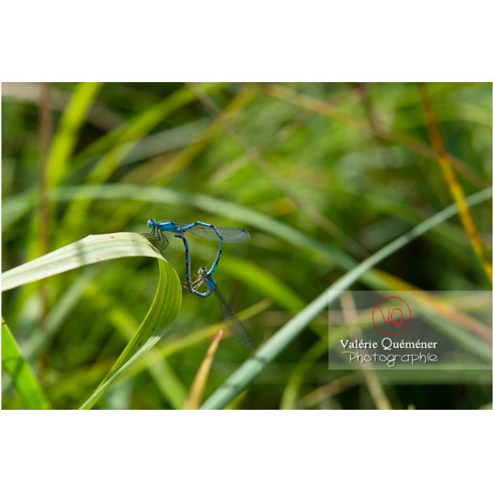 Accouplement de libellules agrion agrion - Réf : VQA6-0188 (Q3)