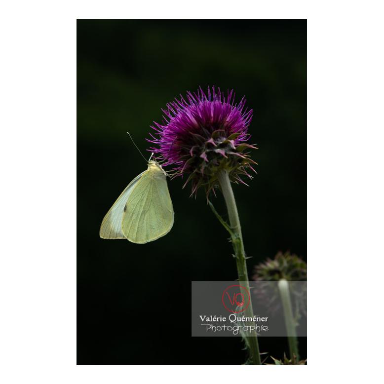 Piéride du chou sur une fleur de chardon - Réf : VQA6-0235 (Q3)
