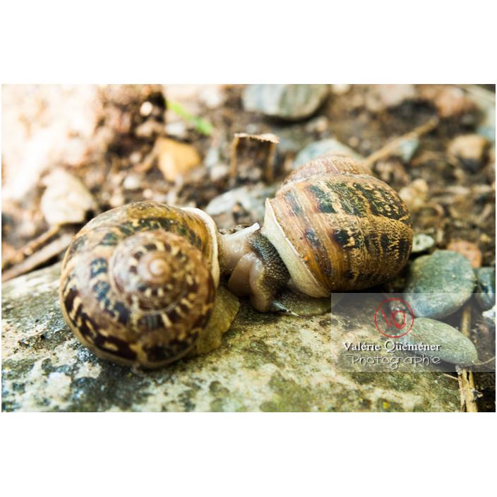 Escargots gros gris en accouplement - Réf : VQA8-0008 (Q2)