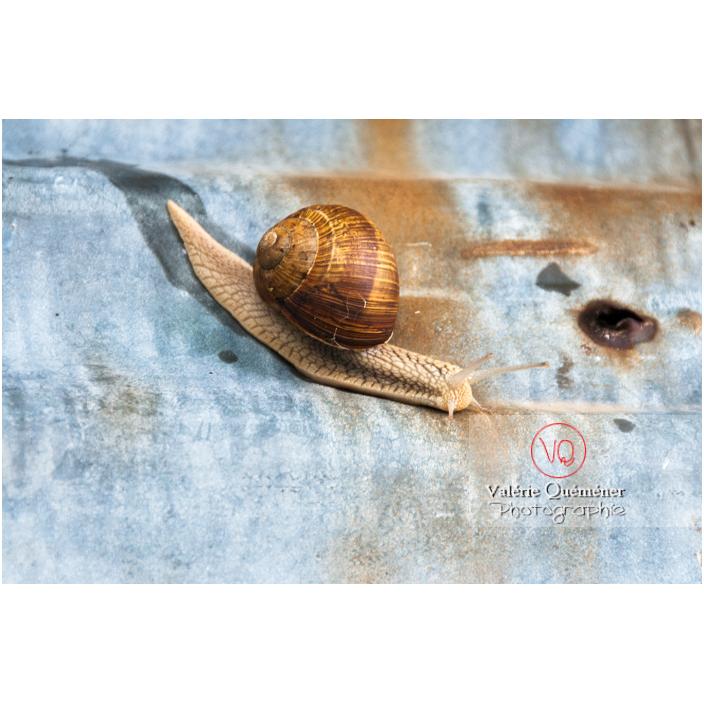 Escargot de Bourgogne - Réf : VQA8-0010 (Q2)