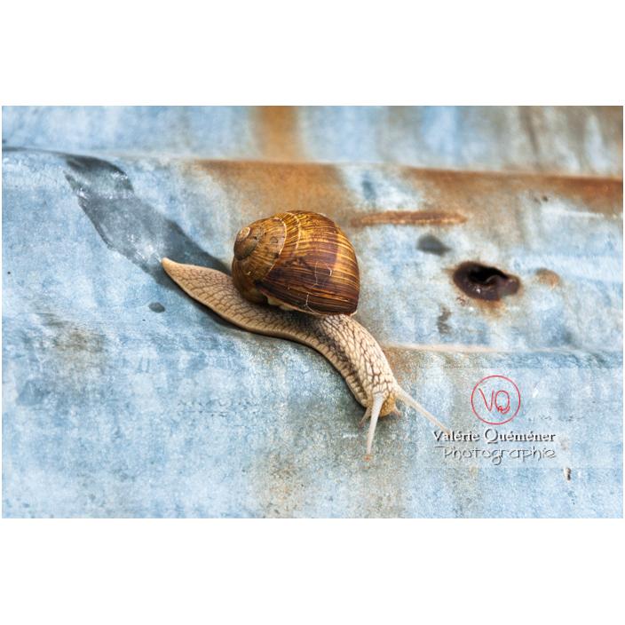 Escargot de Bourgogne - Réf : VQA8-0011 (Q2)