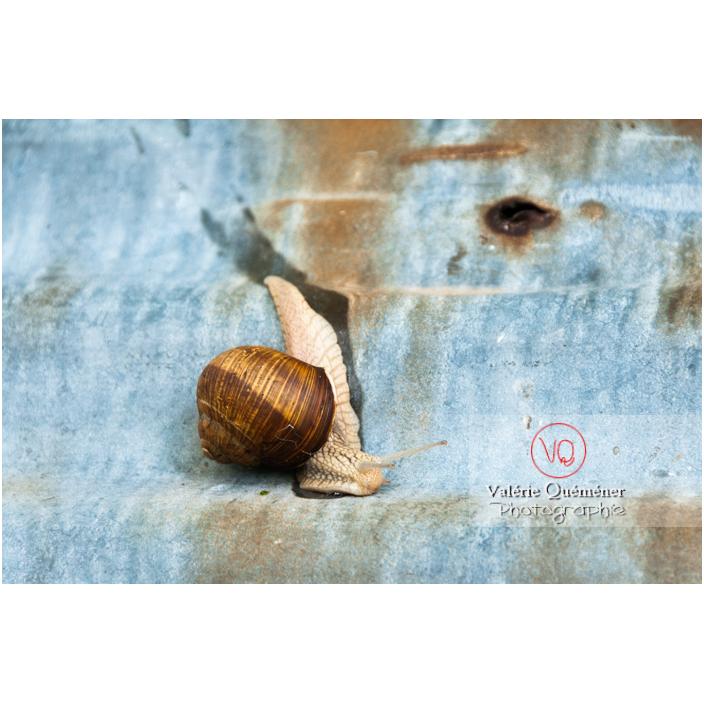 Escargot de Bourgogne - Réf : VQA8-0012 (Q2)
