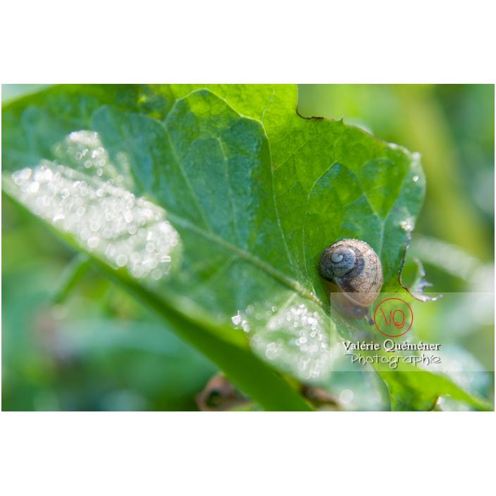 Escargot de jardin - Réf : VQA8-0016 (Q2)