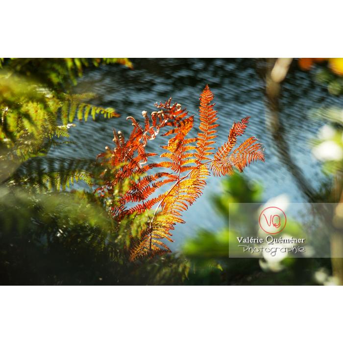 Fougère aux couleurs d'automne au bord de l'eau / Bretagne - Réf : VQF&J-0234 (Q1)