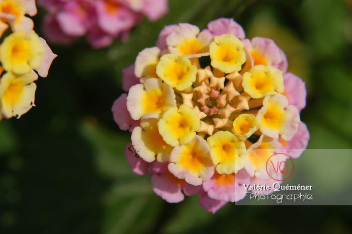 Fleur de lantana - Réf : VQF&J-0500 (Q1)