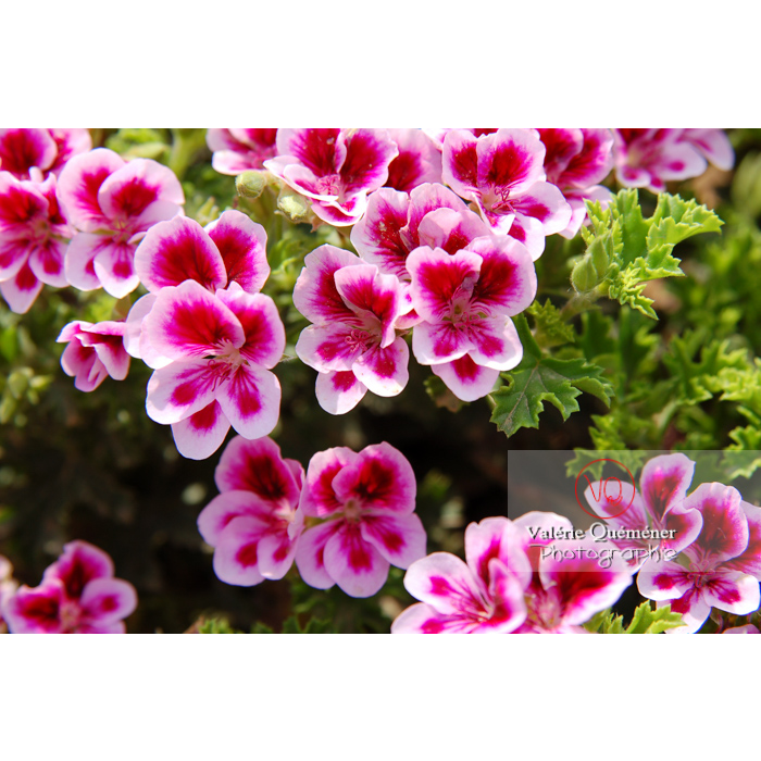 Fleurs de pelargonium - Réf : VQF&J-0501 (Q1)
