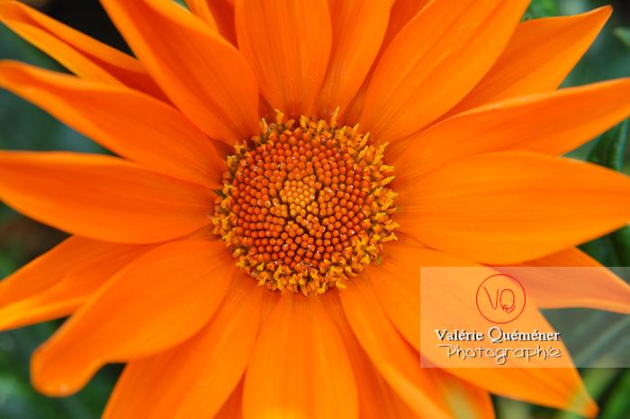 Fleur de gazania orange - Réf : VQF&J-0504 (Q1)